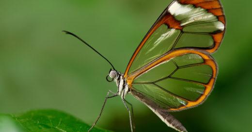 Стеклянная бабочка гретта ото