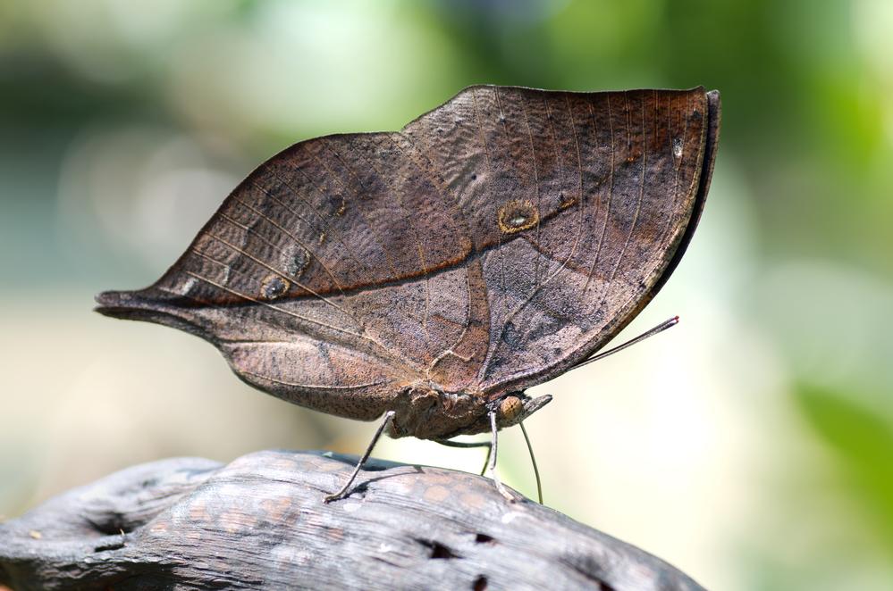 бабочка каллима