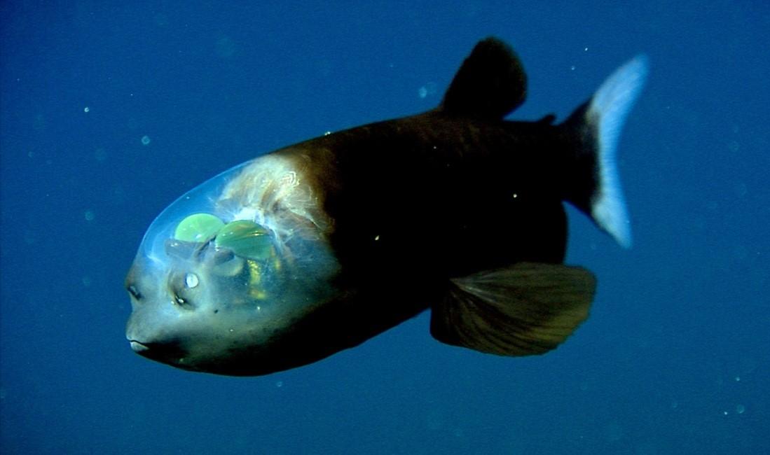 малоротая макропинна рыба
