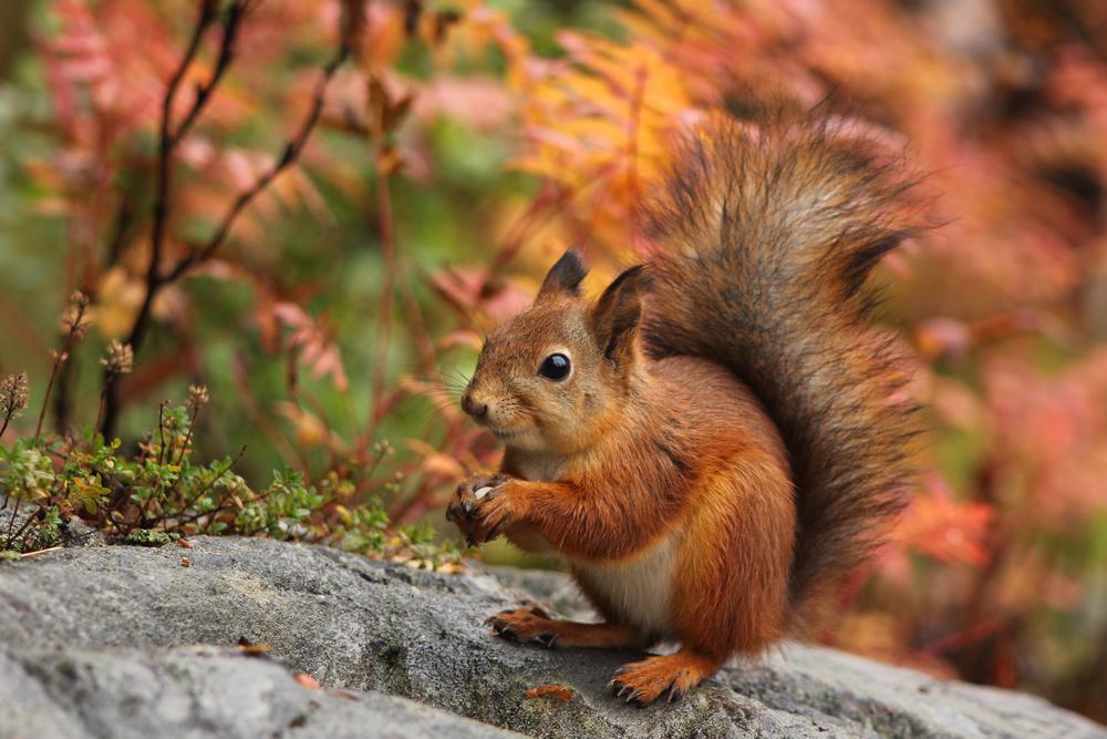 белка на природе осенью
