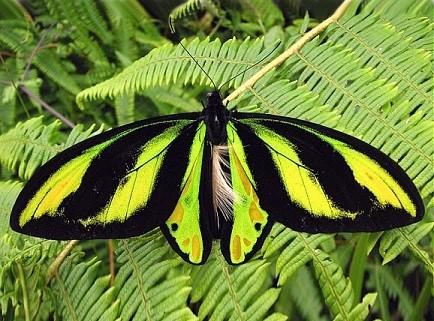 бабочка птицекрыл