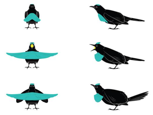 формы райской птицы