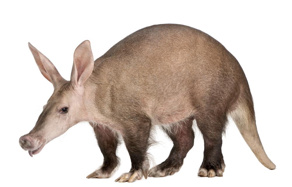 трубкозуб животное