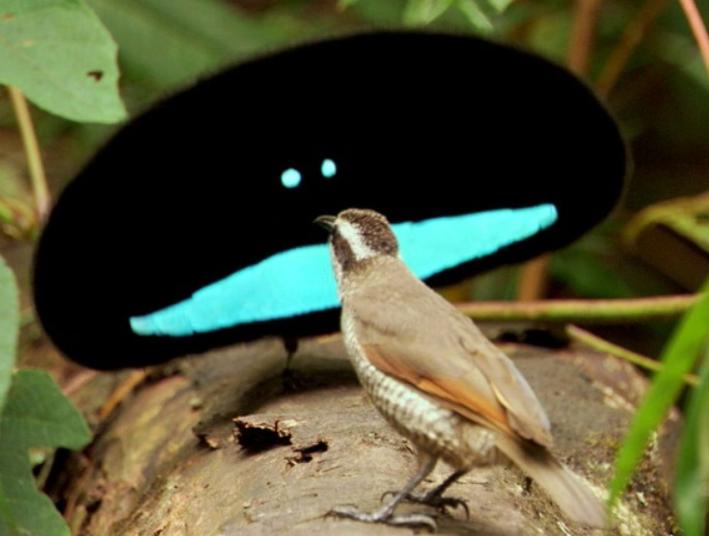 самец чудной райской птицы