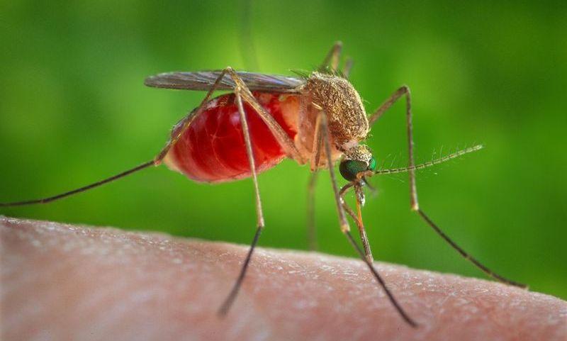 Комар питается кровью человека