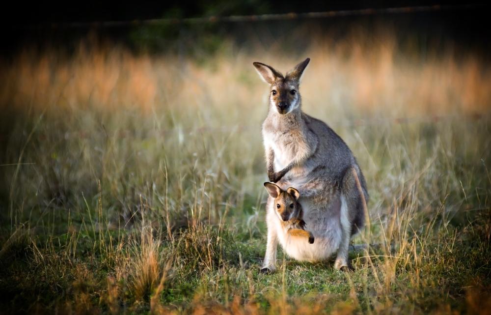 Взрослое кенгуру с кенгуренком