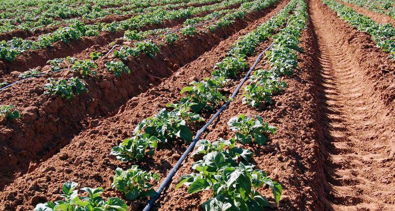 Метод Митлайдера при выращивании картофеля