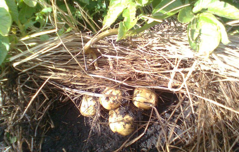 Выращивание в соломе картофеля