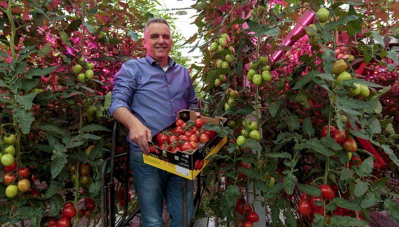 Сорта томатов, подходящие для выращивания по голландской технологии