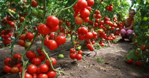 Голландская технология выращивания томатов