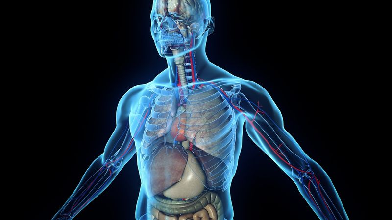 Прозрачные внутренние органы