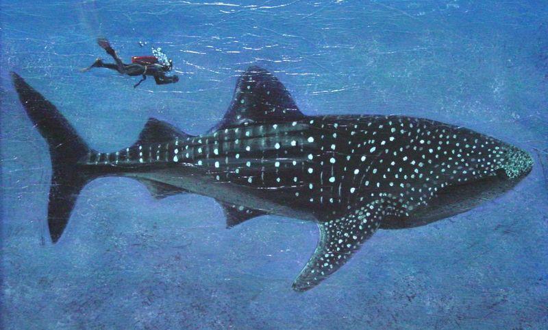 Ккитовая акула