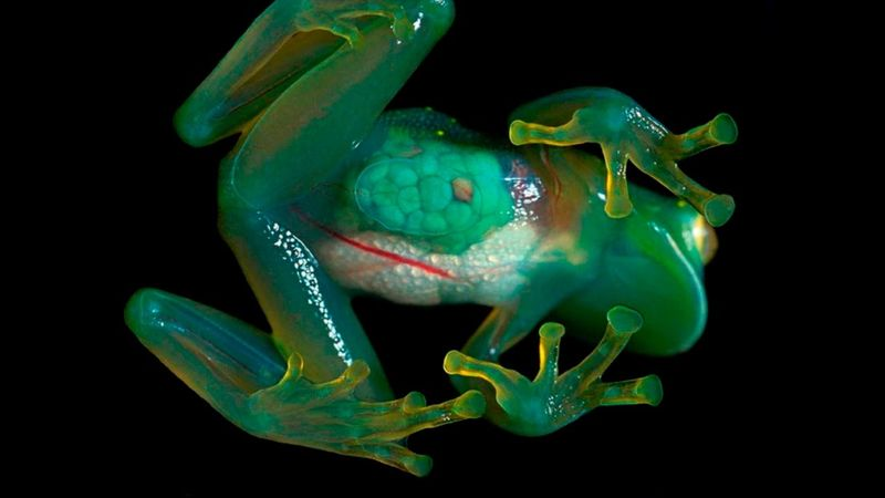Стеклянная лягушка - вид снизу