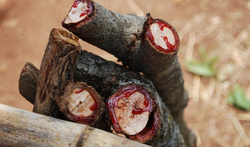 Драцена - дерево, плачущее кровью