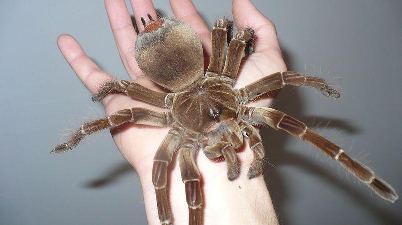 Терафоза блонда (паук-птицеед)