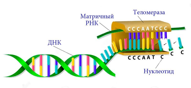 Теломераза