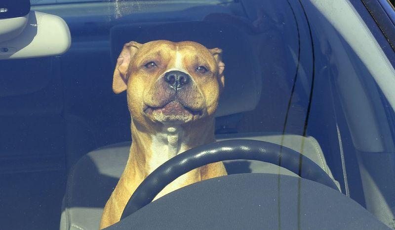 Собака за рулем авто