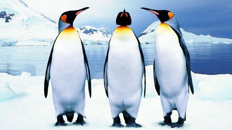 """""""Нелетающие"""" пингвины"""