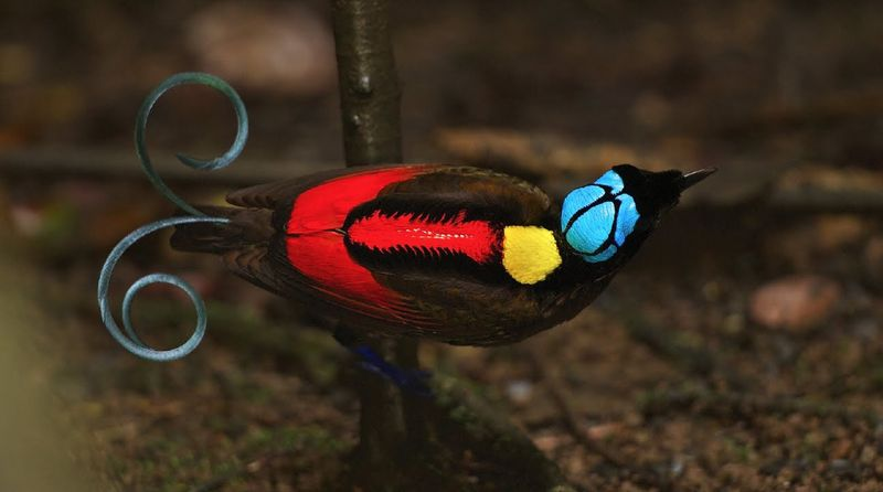 Синеголовая райская птица