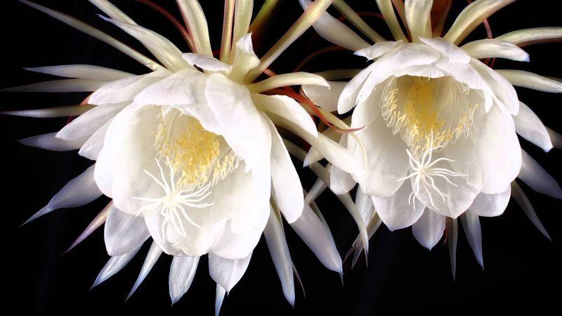 Кадупул цветок