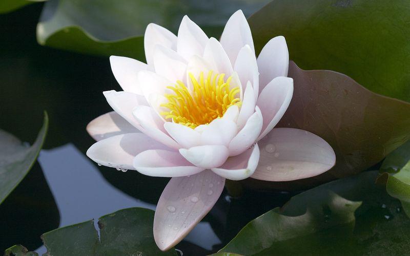 Лотос цветок