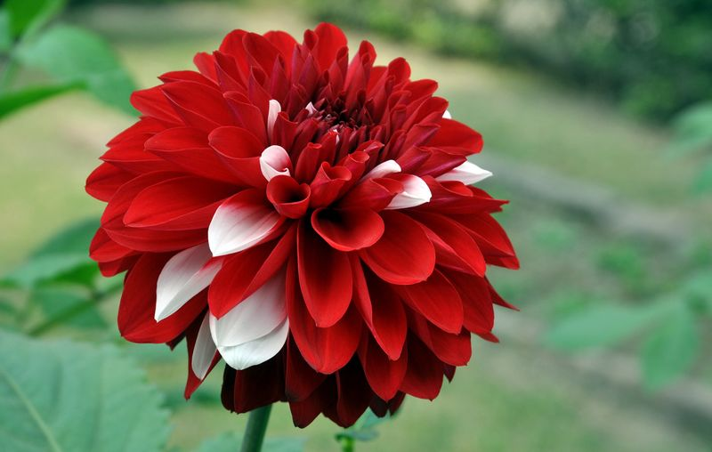 Георгина цветок
