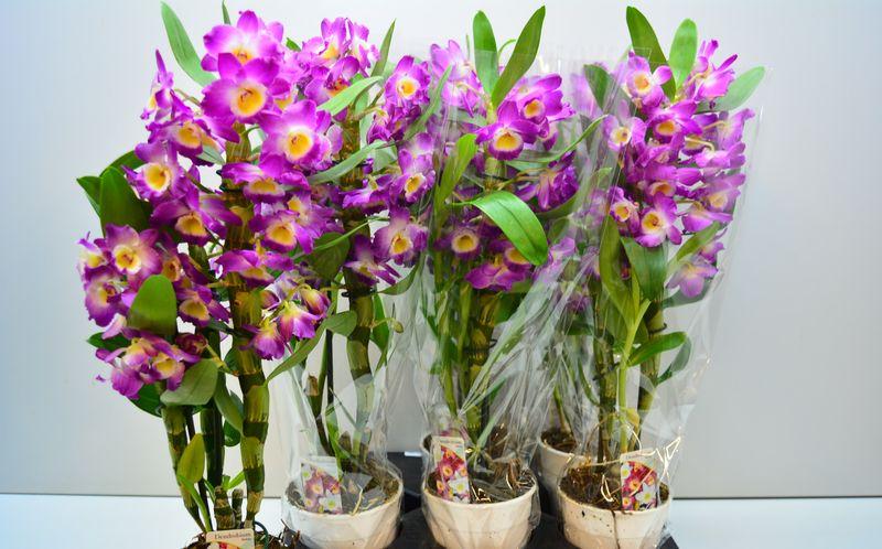 Дендробиум цветок