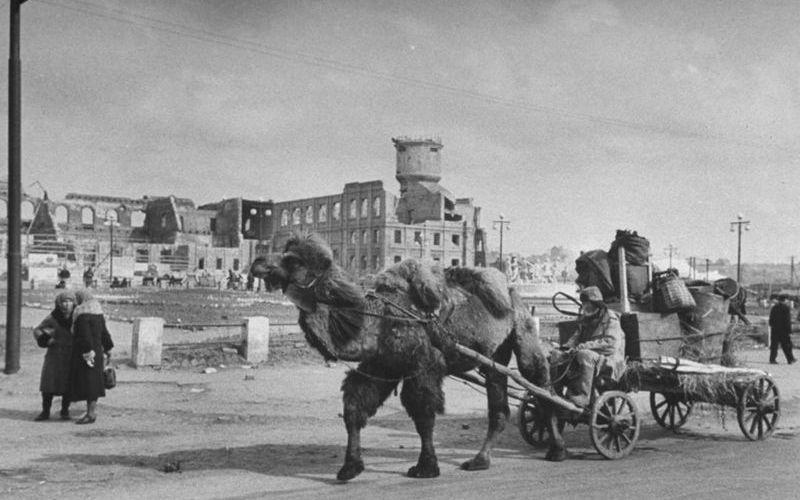 Тягловые верблюды на ВОВ