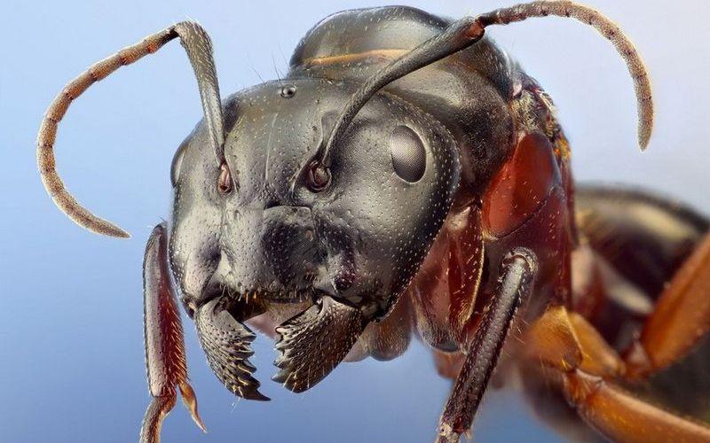 Строение головы муравья
