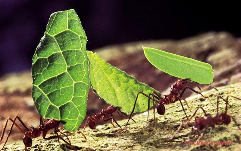 Муравьи-листорезы