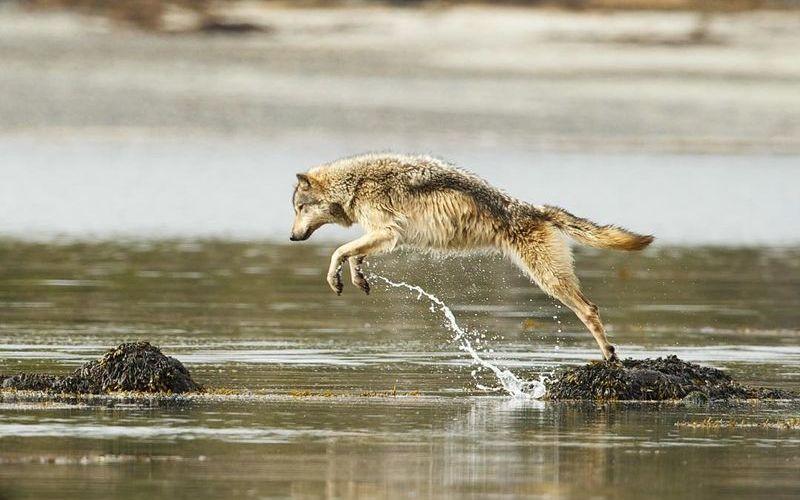 Волк охотится за рыбой