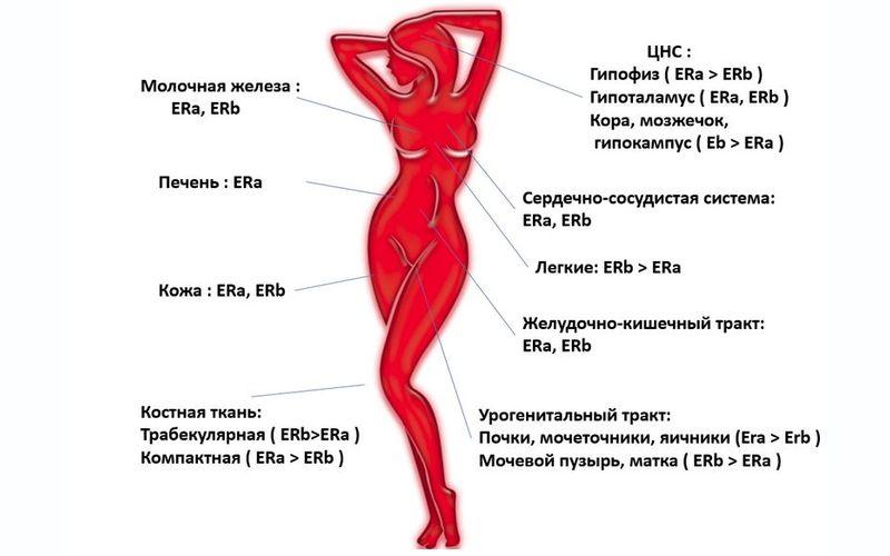 Системы женского организма, на которые влияет гормон эстроген