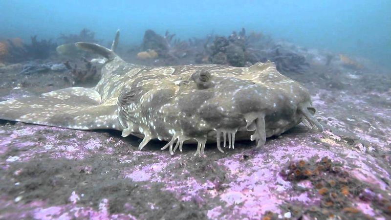 Ковровая акула