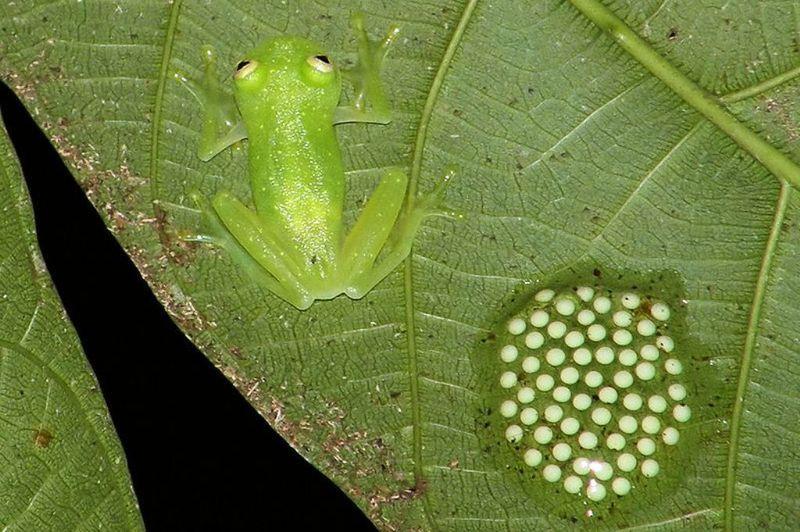 Стеклянная лягушка Centrolenidae