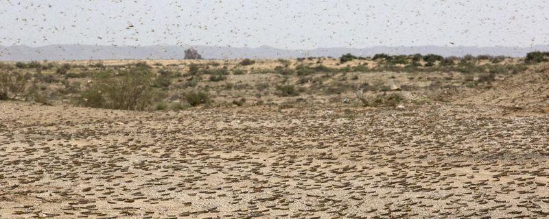 Саранча в пустыне