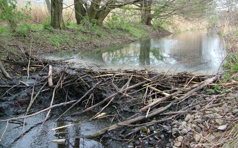 Плотина, построенная бобрами