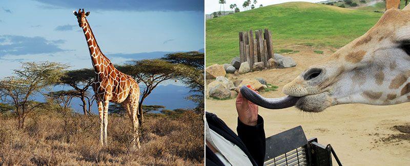 Удивительные факты о жирафе