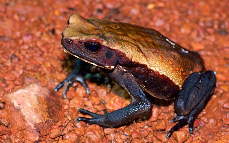Бурая жаба