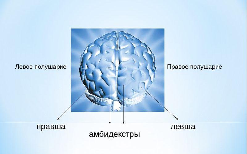 Как устроен мозг