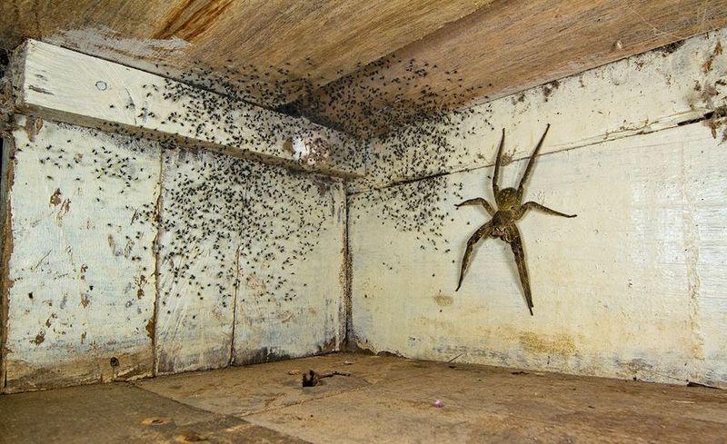 Бразильский странствующий паук в жилище