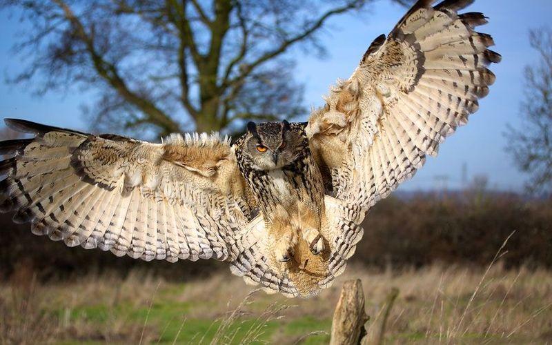 Размах крыльев филина