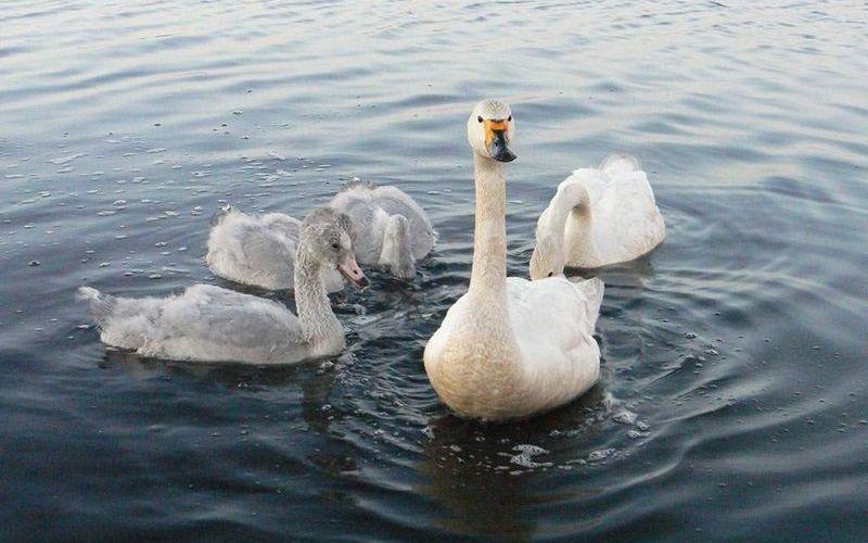 Малые лебеди