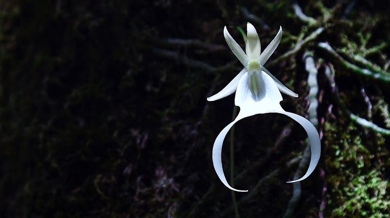 Орхидея-призрак