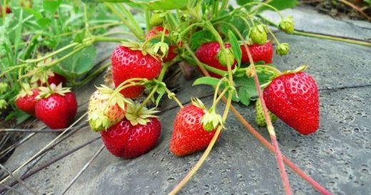 Различные технологии выращивания клубники