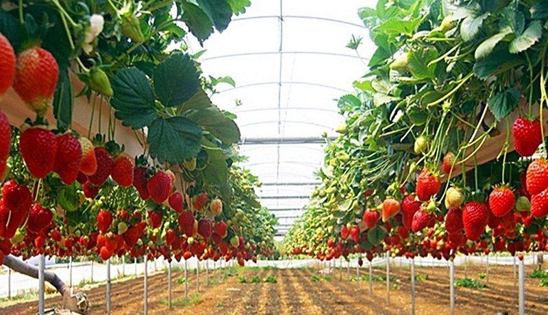 Голландская методика выращивания клубники