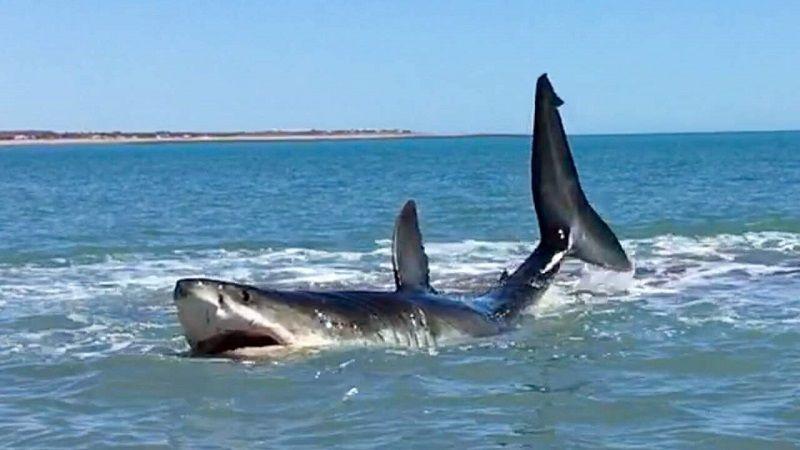 Акула на мелководье