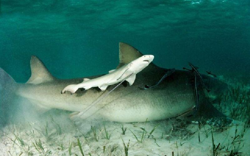 Как размножаются акулы