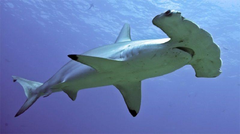 Молотоголовые акулы
