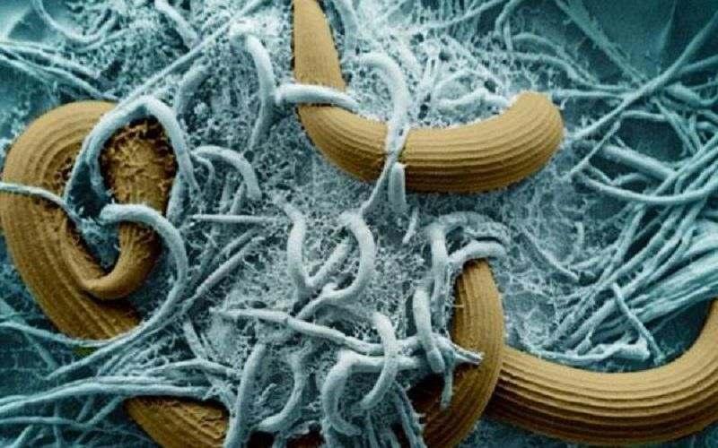Грибы Monacrosporium ellipsosporum