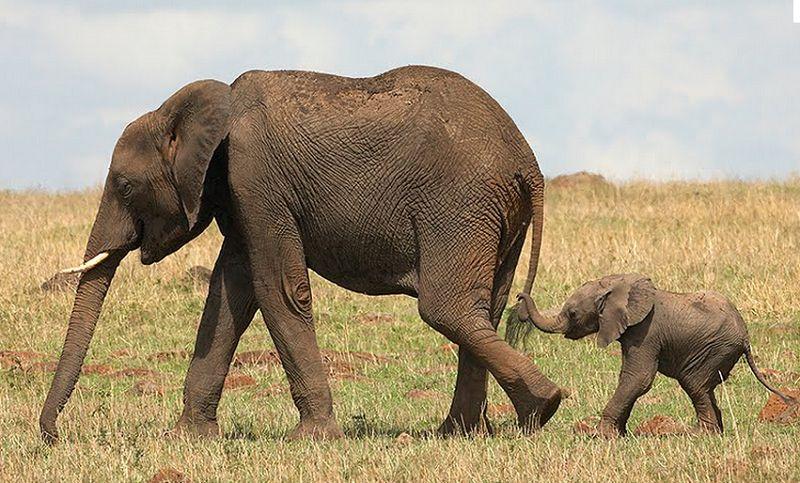Слоны: рождение потомства